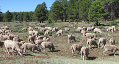 Sheep near Williams, AZ